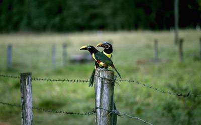 Two toucans on a fence