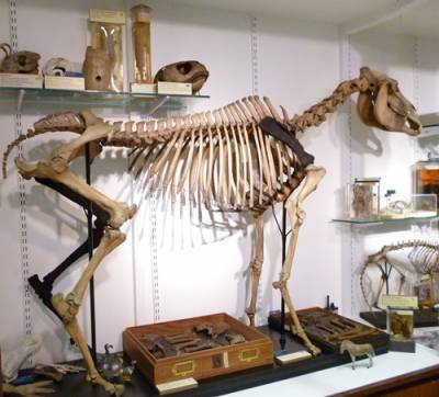 Quagga skeleton at the UCL Grant Museum…