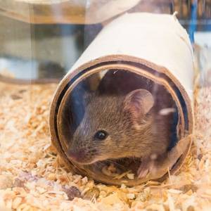 UCL research mouse