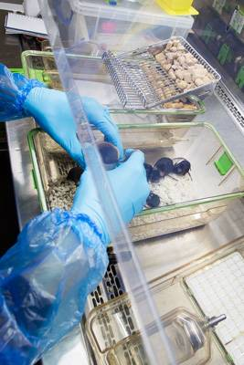 A technician cleaning out mouse cages