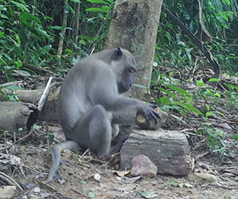 A male long tailed macaque cracking oil palm nuts. They place a nut on a stone anvil and use a stone hammer to crack the nut open (Photo credit: Dr Lydia Luncz, The University of Oxford)
