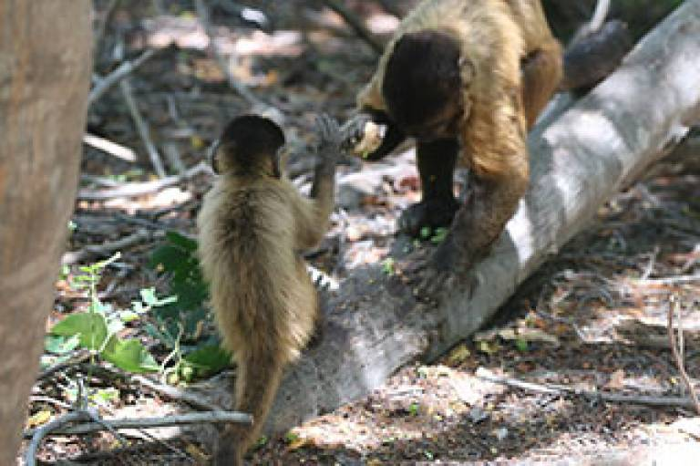Capuchin monkeys using stone tools