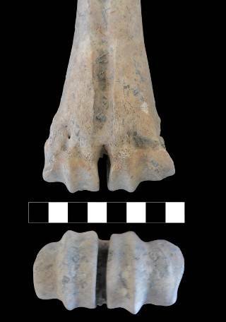 Medial (the side closest to the centre of the body) enlargement of the articular surface of a metatarsal (this bone was directly dated to c.5950 cal BC). Image credit: Jane Gaastra