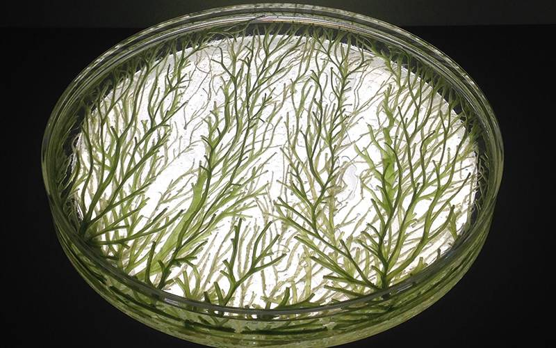 Robotically extruded algae-laden hydrogel