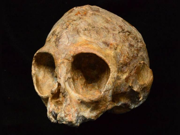 Fossil skull sheds light on ape ancestry