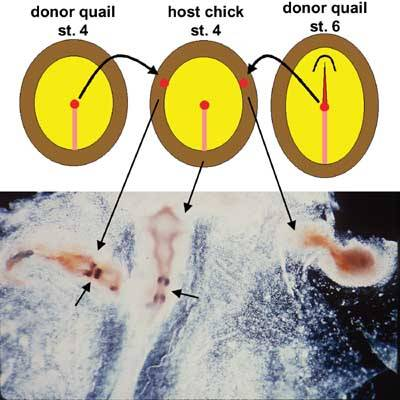 Tutorial on chick early development | UCL Division of Biosciences