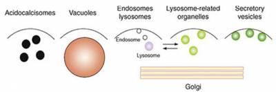 Ca2+ signalling through acidic organelles