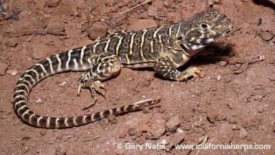 Adult male blunt nosed leopard lizard