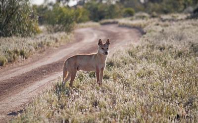 dingo in the wild