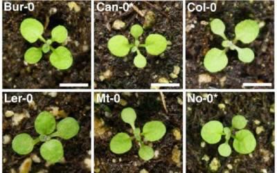 Seedlings of Arabidopsis thaliana