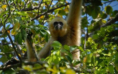 nomascus-annamensis_female_rawson_gibbon