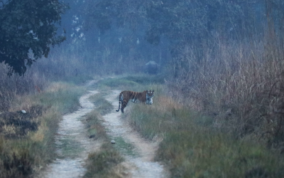 tiger_in_the_wild