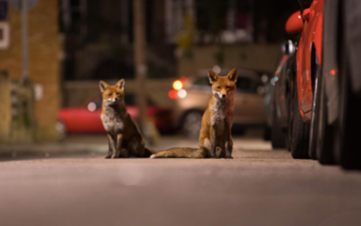 foxes in the city 3