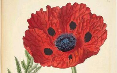 John Lindley Poppy Image