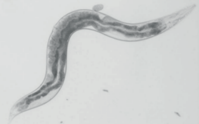 UCL Institute of Healthy ageing worm image b&W