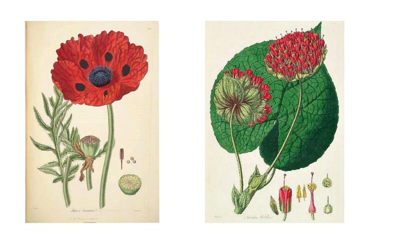 John Lindley illustrations