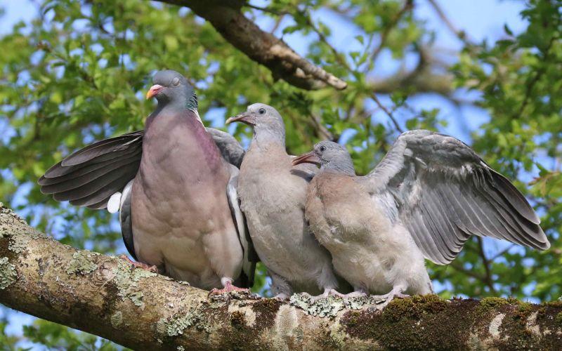 Three wood pigeons