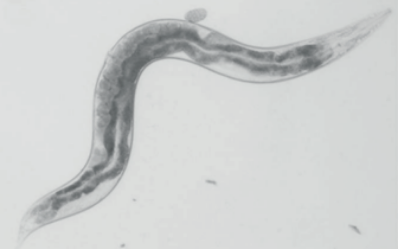 black and white worm under microscope