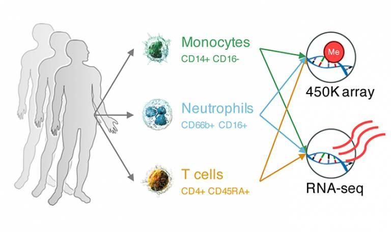 Immune Cells graphic…