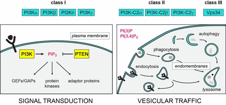 PI3K isoforms with PTEN