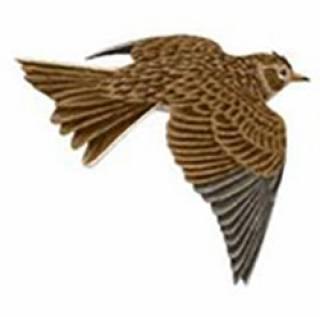 Image of a Skylark