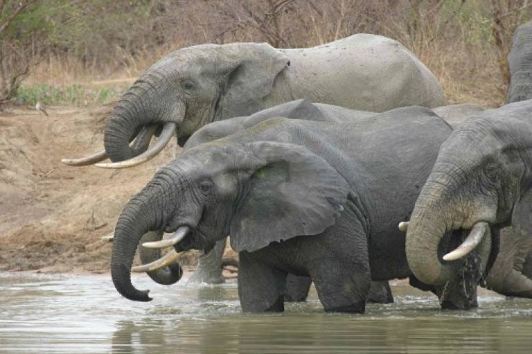 Elephants drinking at a watering hole. Credit: Adrian Lister