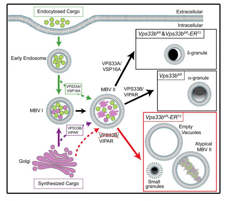 image of endocytosed cargo