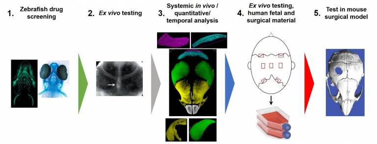 sequences of images of zebriafish drug screen followed by ex vivo testing followed by systemic in vivo / quantitative/temporal analyis followed by ex vivo testing, human fetal and surgical material followed by test in mouse surgical model