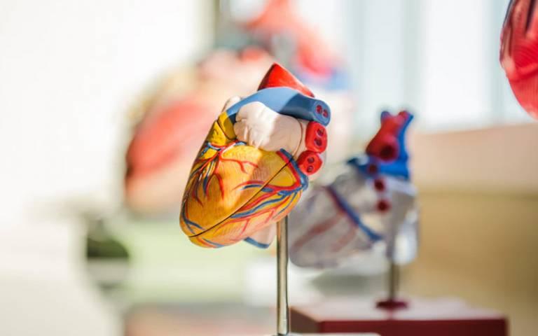 A medical model of a heart