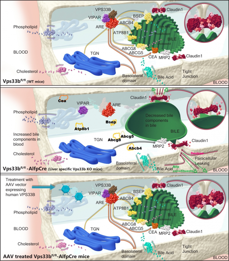 image of phenotype correction in the murine model of ARC liver diseases