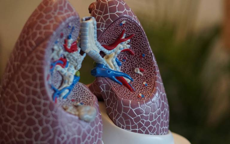 A medical model of some lungs