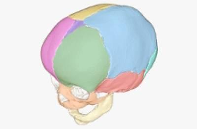 Skull and face bones