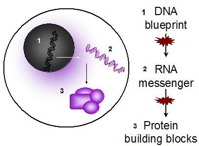 DNA is the blueprint for every cell, but defects can occur as DNA sends a signal to the cells RNA, or as RNA sends a message to the cells protein