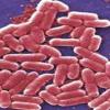 The bacteria E. coli