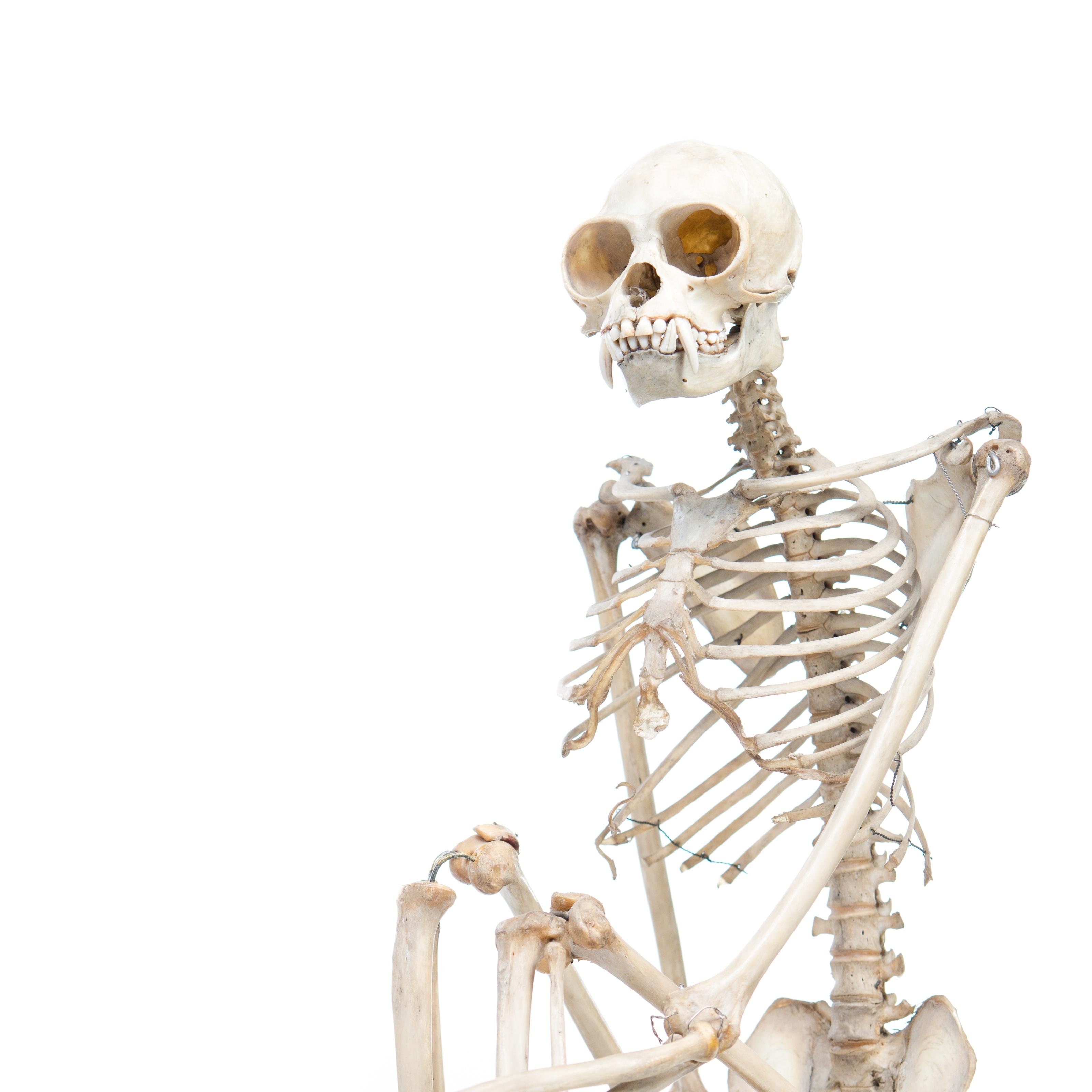 Colour photo of a gibbon skeleton sitting upright