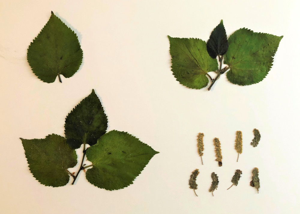 full colour drawings of mulberry leaves