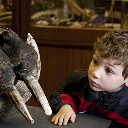 Child looks at a large elephant skull