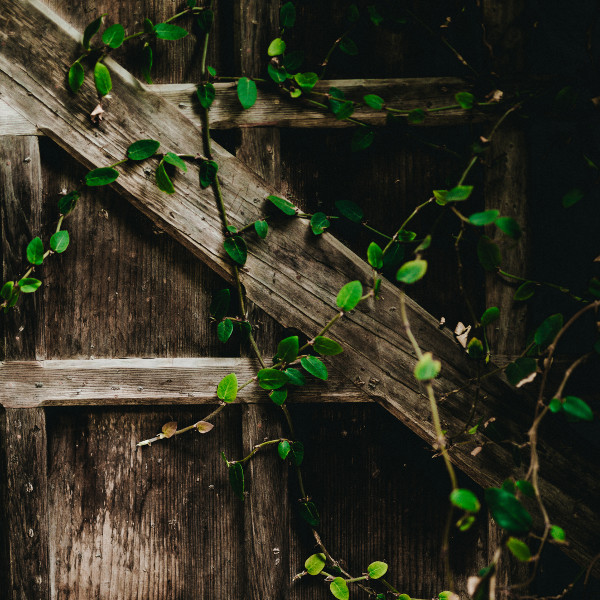wooden fence with vines growing