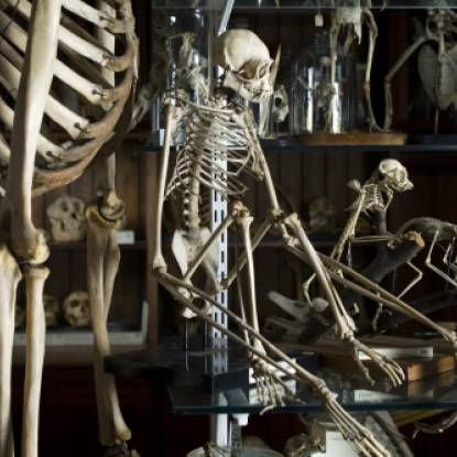 Primate skeletons in a case