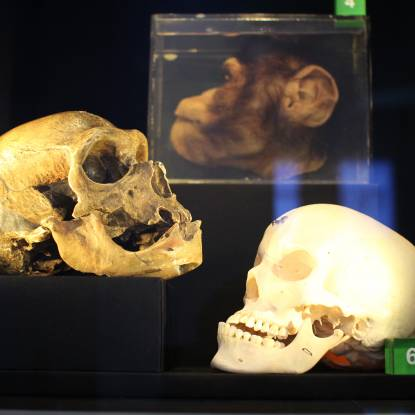 two skulls, one chimpanzee head