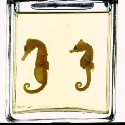 Preserved sea horses with eggs in male pouch