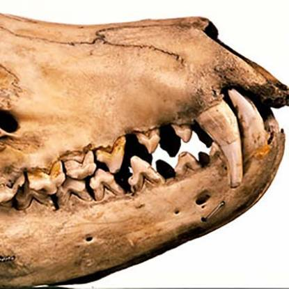 z90-thylacine_skull_profile-1.jpg