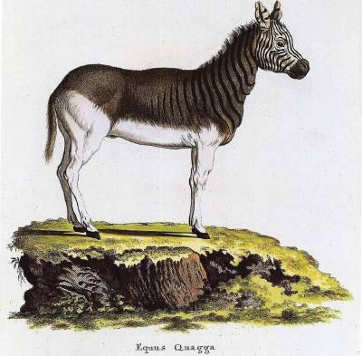 quagga_plate_cccxvii_in_von_schrebers_die_saugethiere_in_abildungen_nach_der_natur_erlangen_1840-1855.jpg