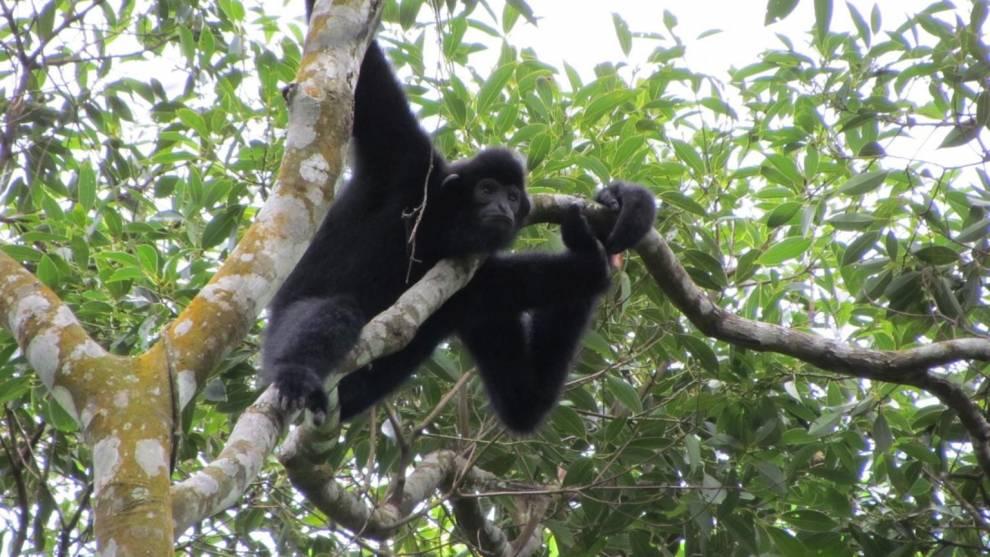 Hainan gibbon in a tree