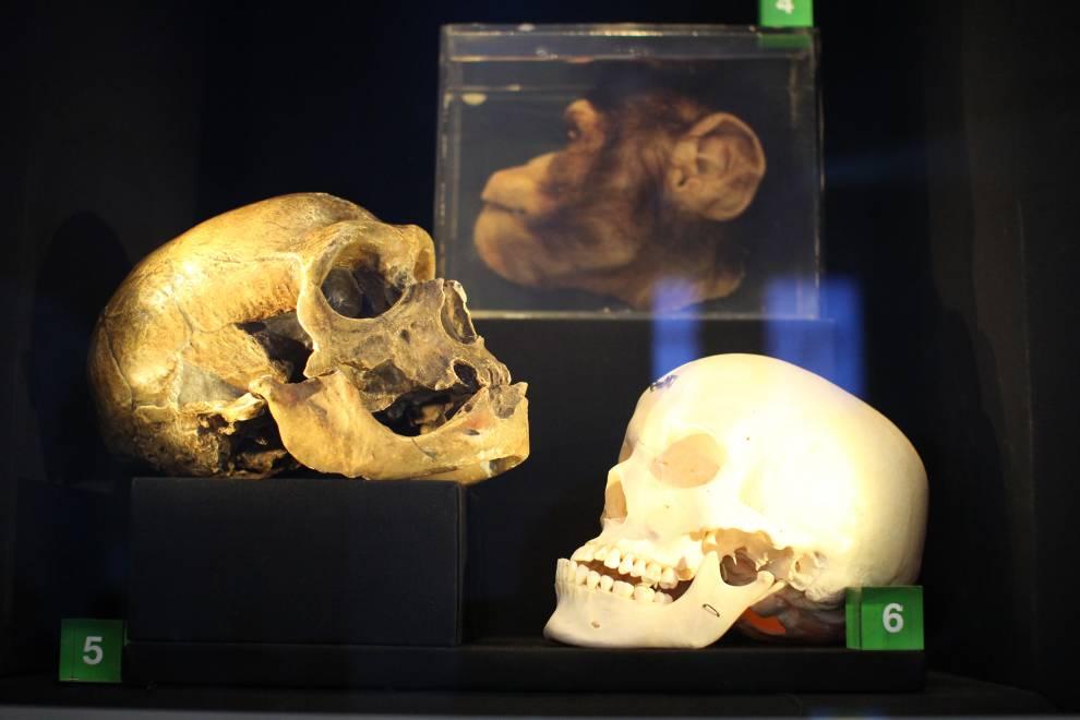two skulls, one chimpanzee head