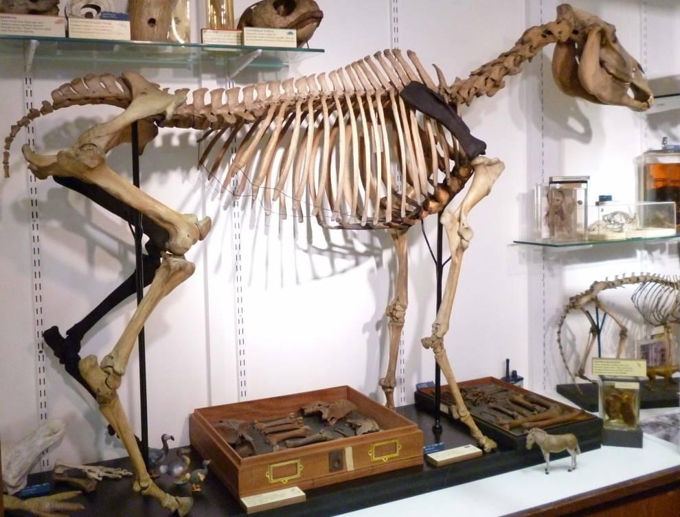 quagga_with_4_legs_c_ucl_grant_museum_35.jpg
