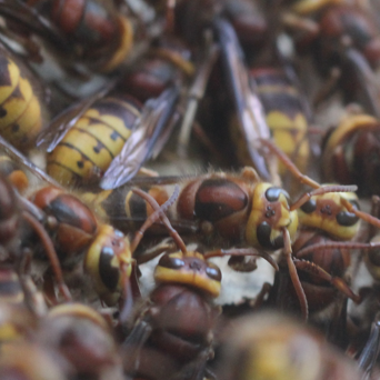 Colour photo of a swarm of wasps