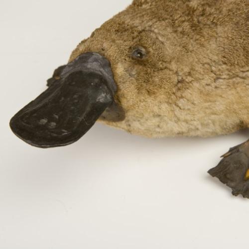 Image of platypus specimen
