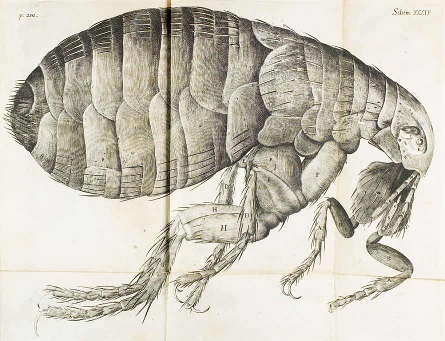 Image of flea from Robert Hooke, Micrographia, 1665.