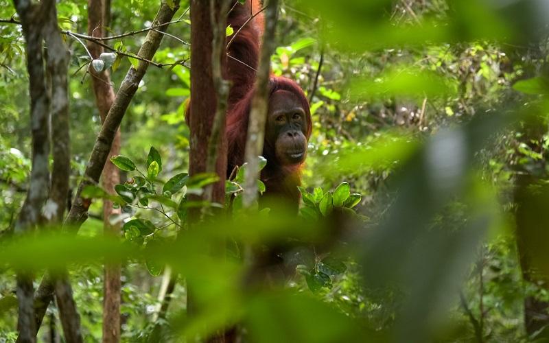 Orang Utan, Indonesia